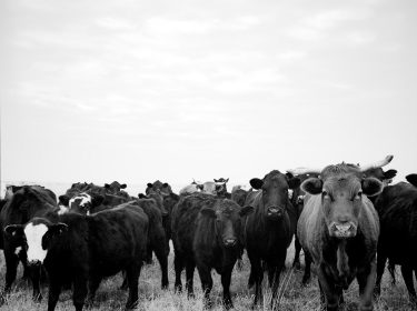 Cows, Wichita Falls, Texas